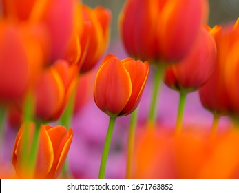 So beautiful tulips are blooming in spring