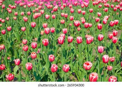 Beautiful tulips in the botanical garden