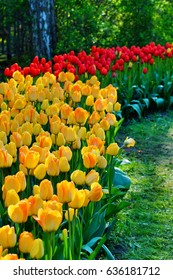 Beautiful tulips - colorful fragrant spring flowers - soft focus