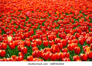 Beautiful tulips fields during the springtime