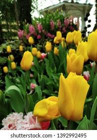 Beautiful tulips florishing its yellow colour