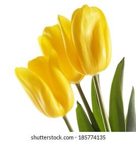 Beautiful tulips flower, isolated on white