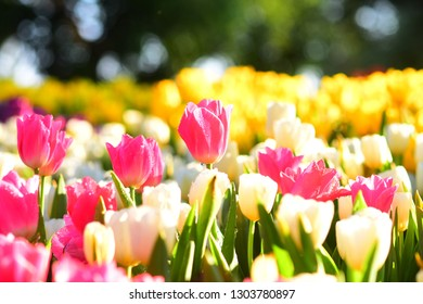 Beautiful Tulips flowers blooming in garden