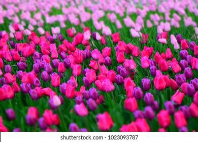 Beautiful tulips flowers. Springtime background. Seasonal photography.