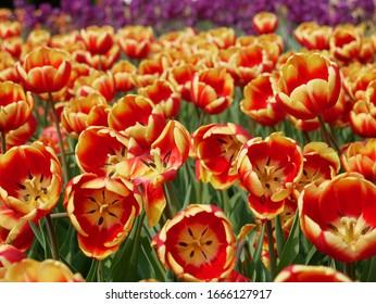 Beautiful tulips in the garden.