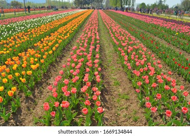 Beautiful Tulips Garden, Multicoloured Tulip Flowers, Srinagar, Jammu and Kashmir, India.