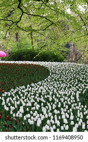 A lot of beautiful tulips at the garden in Netherlands.