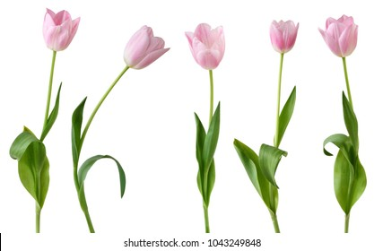 Beautiful Tulips (Lily family, Liliaceae) isolated on white background, including clipping path. Germany