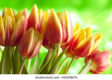 Beautiful tulips on nature background