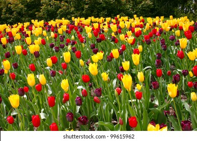 beautiful tulips in a park in the spring time