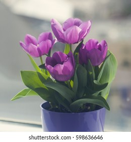 Beautiful tulips in a pot against the window, filled with spring diffused light in the background