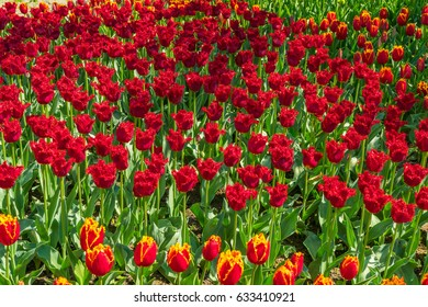Beautiful tulips in the spring. A variety of spring flowers blooming in the beautiful garden. Landscape design - the flower beds of tulips. Skagit, Washington State, USA.