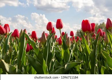 Beautiful tulips in St. Petersburg,spring, flovers