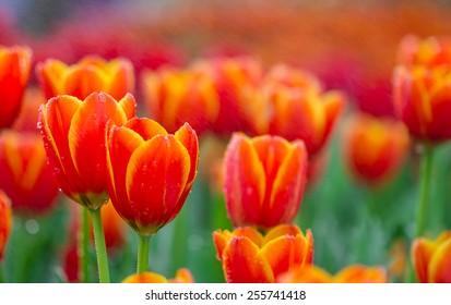beautiful tulips with waterdrop in garden