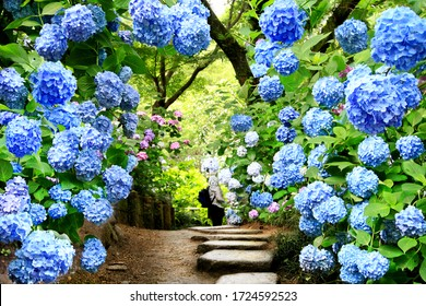 夏は、奈良・矢田寺の青いアジサイの花の美しいトンネル