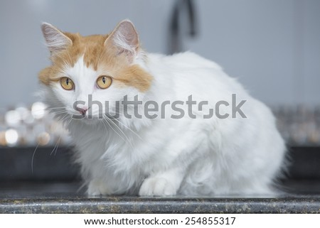 0cdae230d0 Beautiful Turkish Van Cat Stock Photo (Edit Now) 254855317 ...