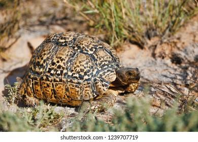 beautiful turtle leopard tortoise in nature habitat, north part of South Africa, Safari wildlife