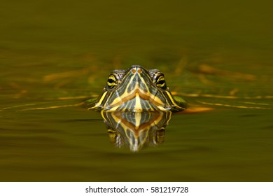 Beautiful turtle in the river. Red-eared slider, Trachemys scriptta. Tortoise detail face portrait on the surface.