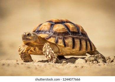 Beautiful turtle slowly walking over sand. Amazing animal. Living in exotic locations in extreme conditions.