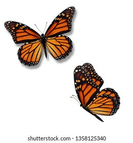 Beautiful two monarch butterfly isolated on white background.