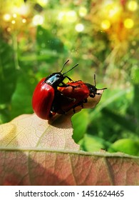 Beautiful two red beetles on the leaf