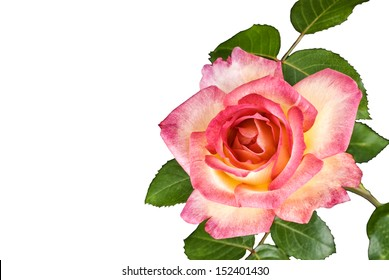 A beautiful two tone pink rose on a white background, horizontal with copy space
