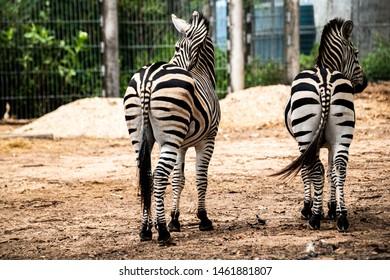 Beautiful two Zebras turned backword enjoy walking in the fresh morning day.