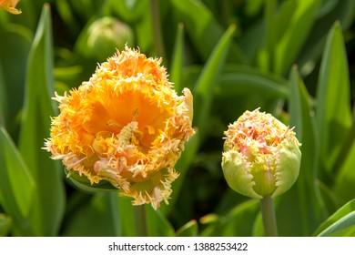 Beautiful typical Dutch orange tulip in closeup