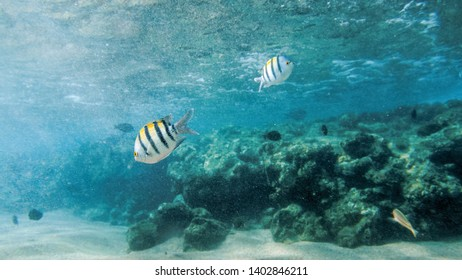 Beautiful under water image of big colorful coral fish school swimming in the Red sea