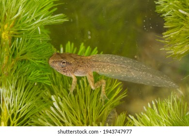 Beautiful under water picture of common grass frog metamorphosing larva with close up of the nearly juvenile frog in between ceratophyllum demersum aquatic plants with four legs completely developed