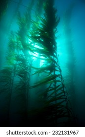 Beautiful underwater kelp forest in clear water shows the sun?s rays penetrating the giant plants.