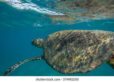 Beautiful Underwater Postcard. Hawaiian Sea Turtle aka Holu Floating right under water surface taking a breath. Loggerhead in wild nature habitat