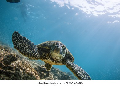 Beautiful Underwater Postcard. Hawaiian Sea Turtle aka Holu Floating Up And Over Coral reef with sunrays at the corner of image. Loggerhead in wild nature habitat