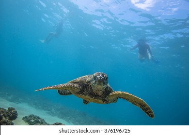 Beautiful Underwater Postcard. Hawaiian Sea Turtle aka Holu Floating Up And Over Coral reef. Two freedivers swimming on surface far behind with silhouettes. Loggerhead in wild nature habitat