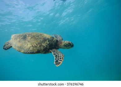 Beautiful Underwater Postcard. Hawaiian Sea Turtle aka Holu Floating Up And Over Coral reef. Loggerhead in wild nature habitat