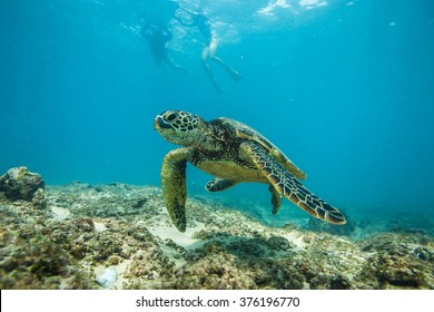 Beautiful Underwater Postcard. Hawaiian Sea Turtle aka Holu Floating Up And Over Coral reef. Two silhouettes of freedivers swimming on surface far behind. Loggerhead in wild nature habitat