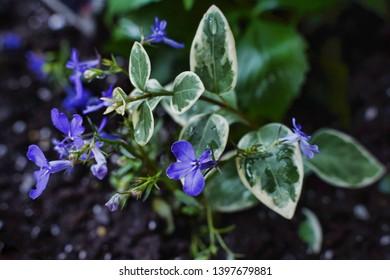 Beautiful unique dark blue lobelia flower in full bloom.
