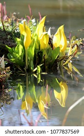 The beautiful and unusual flowers of Lysichiton americanus also known as the yellow or american skunk cabbage, reflected in a still pool of water.