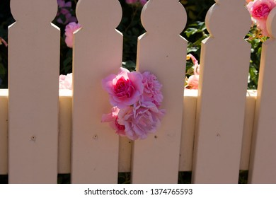 Beautiful unusual ornamental scented romantic pale pink old heritage roses in bloom against a cream painted wooden picket fence in summer and autumn add cottage garden charm to an urban land scape.