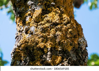 Beautiful unusual tree bark covered with yellow woody mushrooms.