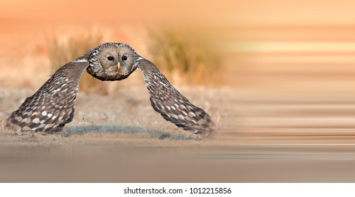 Beautiful Ural Owl