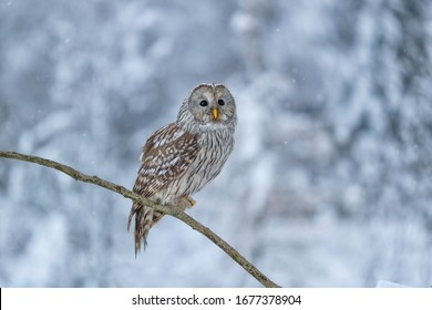 beautiful ural owl perched on branch in winter forest with snow covered trees in background