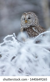 beautiful ural owl perched in winter forest