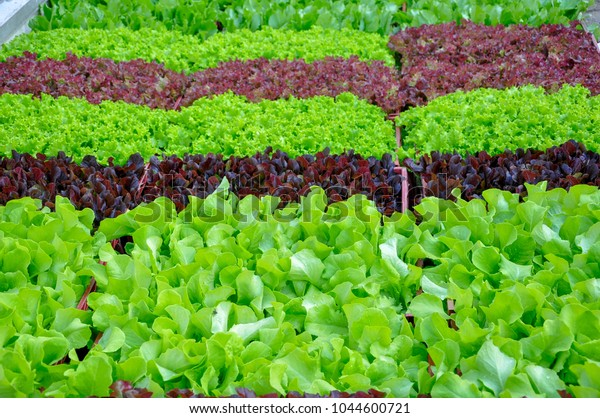 Beautiful Vegetable Garden Red Green Salads Stock Photo Edit Now