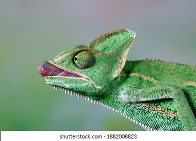The beautiful Veiled chameleon was preparing to pull out its tongue to catch its prey.