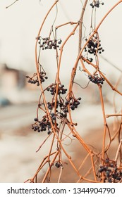 beautiful vertical background texture consisting of dry vines with black grapes on the street