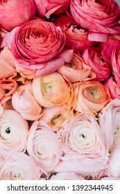Beautiful vertical ombre texture of fresh blossoming ranunculus flowers from magenta to coral to tender pink colors, close up view
