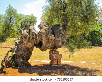 Beautiful very old secular olive tree, Puglia, Italy