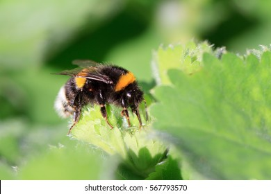 Beautiful vibrant macro close-up of a Bombus terrestris (the buff-tailed bumblebee or large earth bumblebee) on a fresh green leaf in spring in the Netherlands