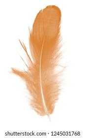 Beautiful Vibrant Orange ,dark cheedar feather isolated on white background